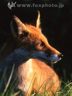 Foxphoto 動物写真家 山本つねお